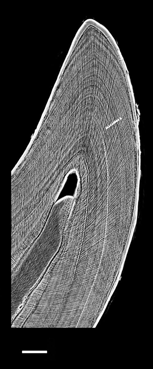 Une coupe réalisée de façon non-intrusive par technologie synchrotron dans une dent d'Hesperornis, montrant des lignes de croissance journalières (flèches blanches). Trait d'échelle : 0,2 millimètres.