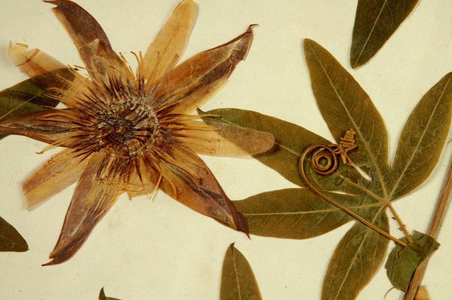 Détail de part d'herbier de BROUILLER (passiflore)